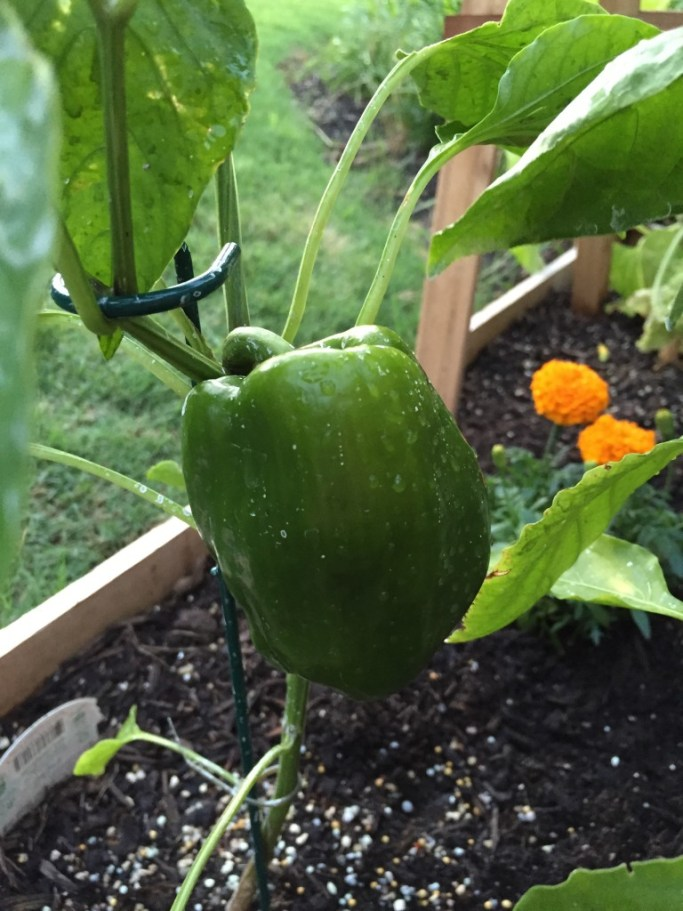 gardening-green-bell-pepper