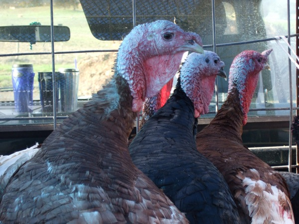 Heritage turkeys – Scalding and plucking to your table…