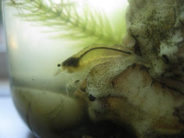 Happy Birthday, Crustaceous Bionaut!