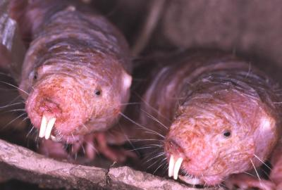 Interesting cancer resistance in naked mole rats