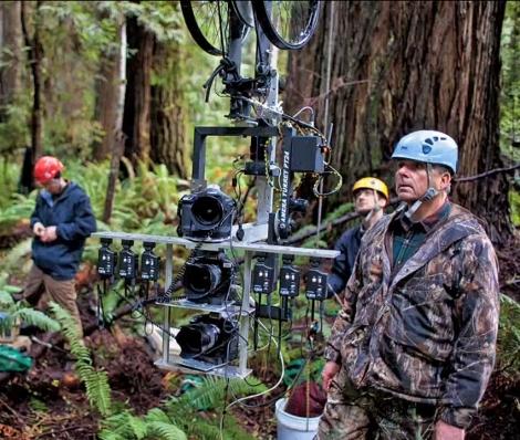Vertical panorama of redwood tree