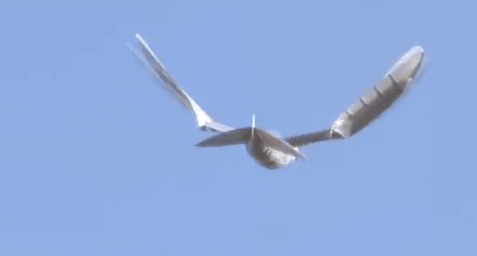 Ornithopter Drone Actually Looks Like a Bird