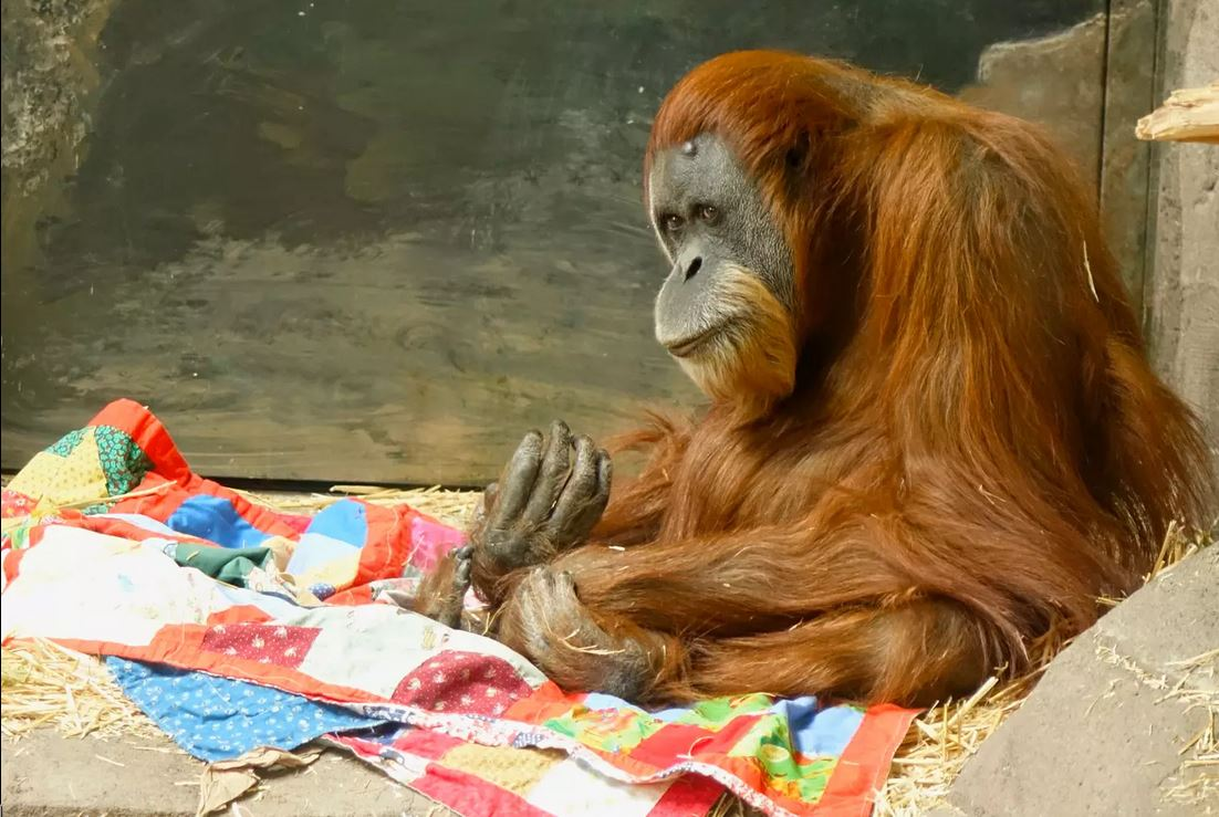 Quilting for Monkeys at The Oregon Zoo (Video)