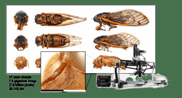 17year_cicada_withrig_1900