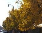 Yellow Gingko Rose