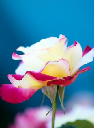 #253 Rose Capitola