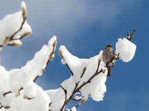 #005 Snow Chickadee
