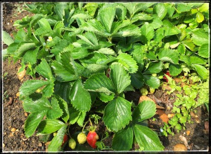 Chernobyl-deformed strawberries grew well this year and despite their ugly appearance, are incredibly sweet.