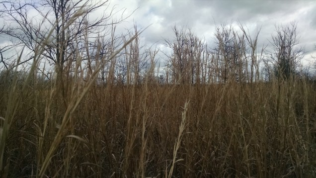 dried-up-grasses