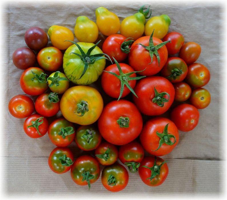 Solawi-Tomaten