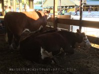 more beef cattle