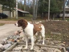 Ivy the Wonder dog - surveys her territory