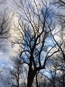 bare trees sprouting leaves soon