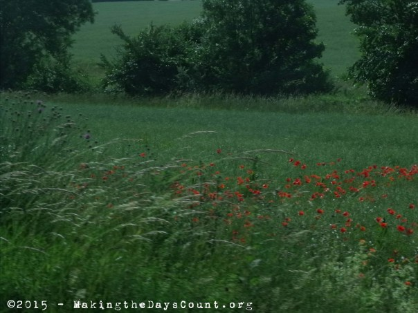poppies bloom across the French countryside