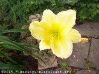 a pale yellow lily yearns for the sun