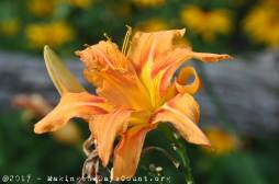 a late blooming lily - a photo by O
