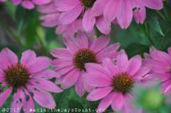 coneflowers - a photo by O
