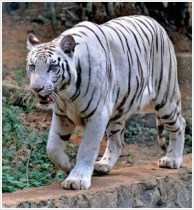 At last, tigress caught at Vandalur