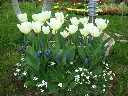 Как красиво посадить тюльпаны в саду