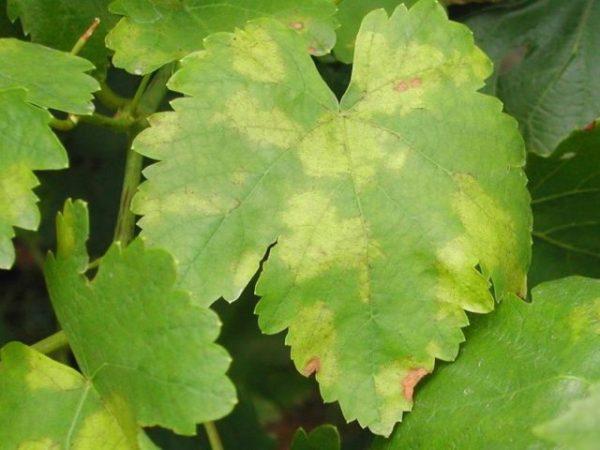 Какие существуют болезни и заболевания винограда, их лечение