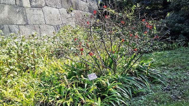 皇居の花ボケ