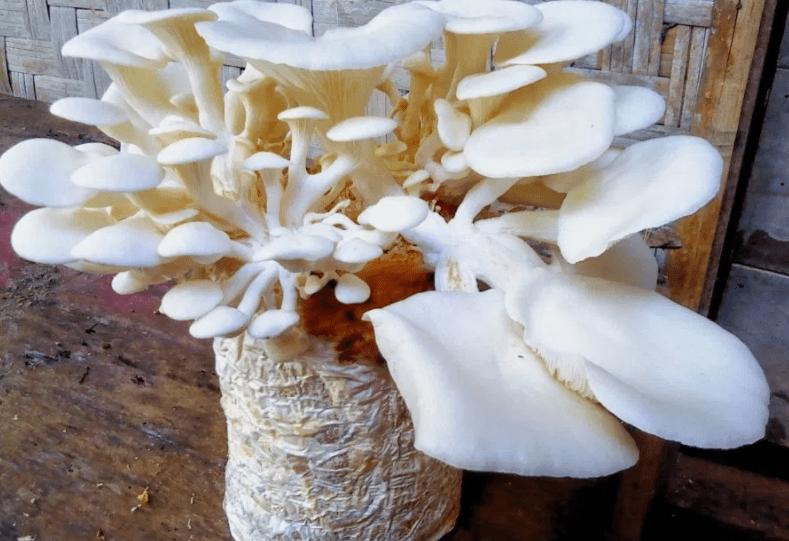 pepes jamur tiram masakan sehari hari sunda