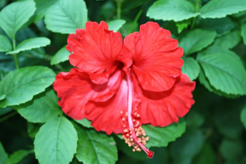 tanaman hias bunga sepatu