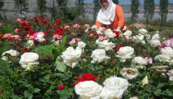 Teks Laporan Hasil Observasi Bunga Edelweis Berbagai Teks Penting