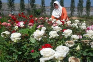 cara menanam dan budidaya bunga mawar
