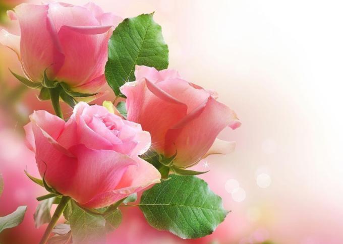 aneka bunga mawar tanaman hias