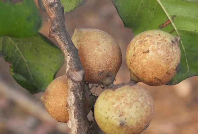 buah kesambi