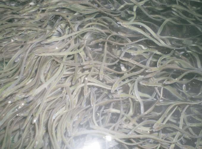 budidaya ikan sidat