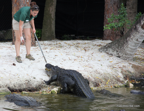 alligator feeding