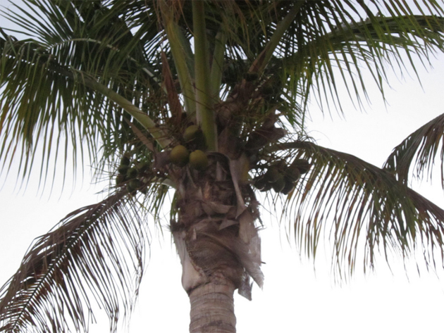MakobiScribe - Palm & Coconut Trees