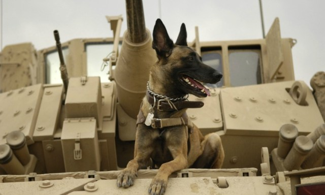 Belgian_Shepherd_Malinois_on_top_of_tank