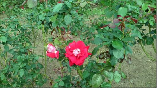 紅いバラのアップ