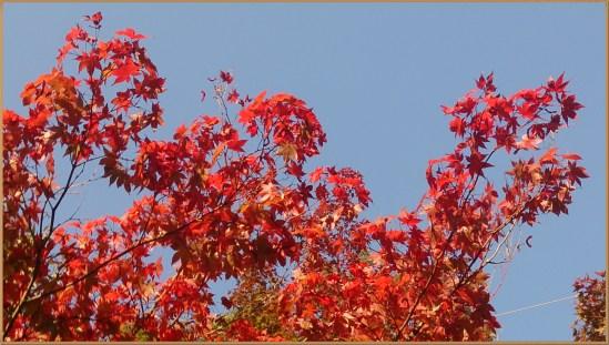 金華山麓公園の紅葉真紅