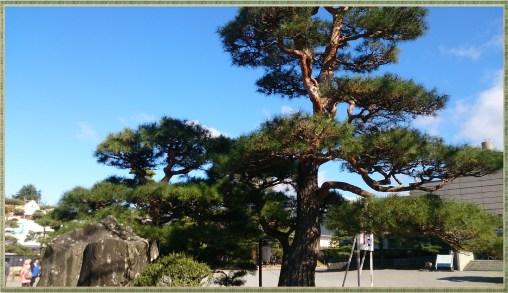 松本城松の木
