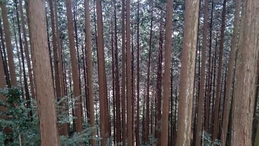 天空の茶畑の林