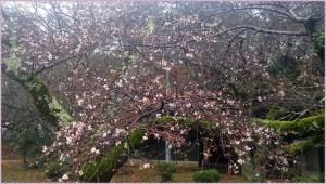 彦根城公園の二季咲桜