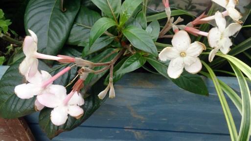 グリーンピア春日井のルクリアの花