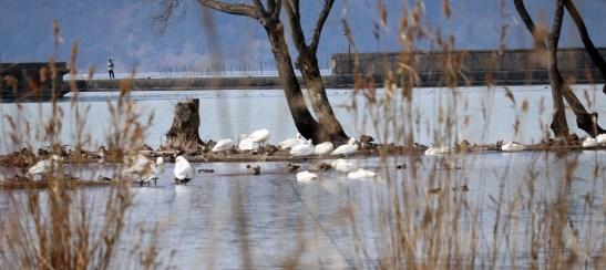 琵琶湖北水鳥公園の白鳥たち04