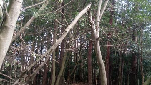 大文字山頂上付近の林01