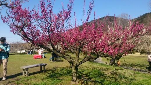 東谷山フルーツパークの梅園06