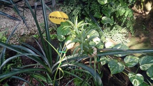 東谷山フルパの小さなパイナップル