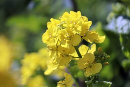 12-7あわじ花の菜の花アップ2