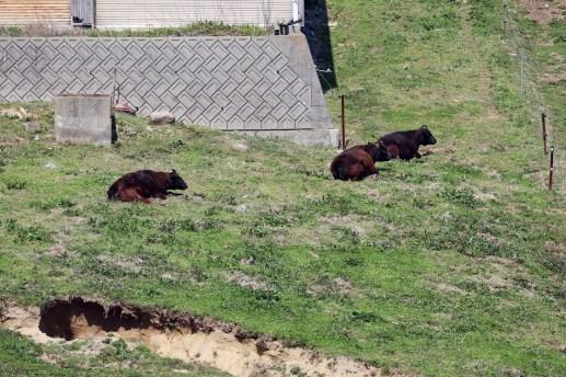15-3あわじ花の牧場の牛たち