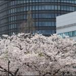 トヨタ14の本社と桜
