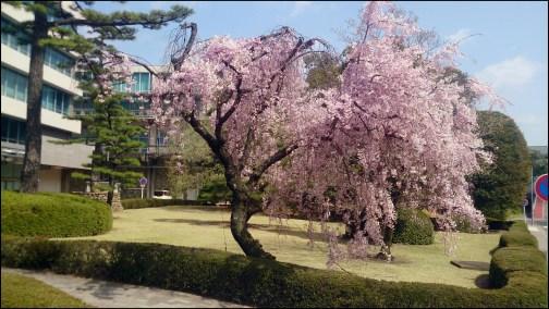 トヨタ8の本社の桜1