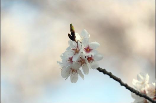 奥山田桜2-6